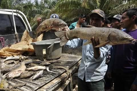 Empleados de la palmera recogiendo los peces muertos y llevándolos en costales . (Fuente: CPR Urbana. Fotos: Marvy Leonardo Requena )