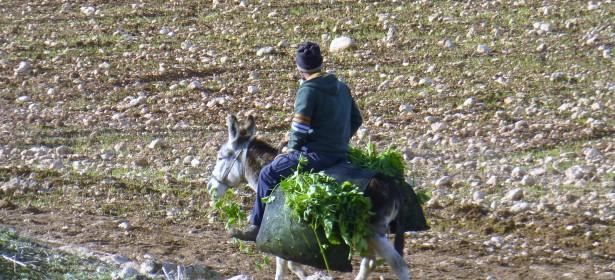 Un campesino y su burro, en el pueblo Bardala en el norte del Valle.